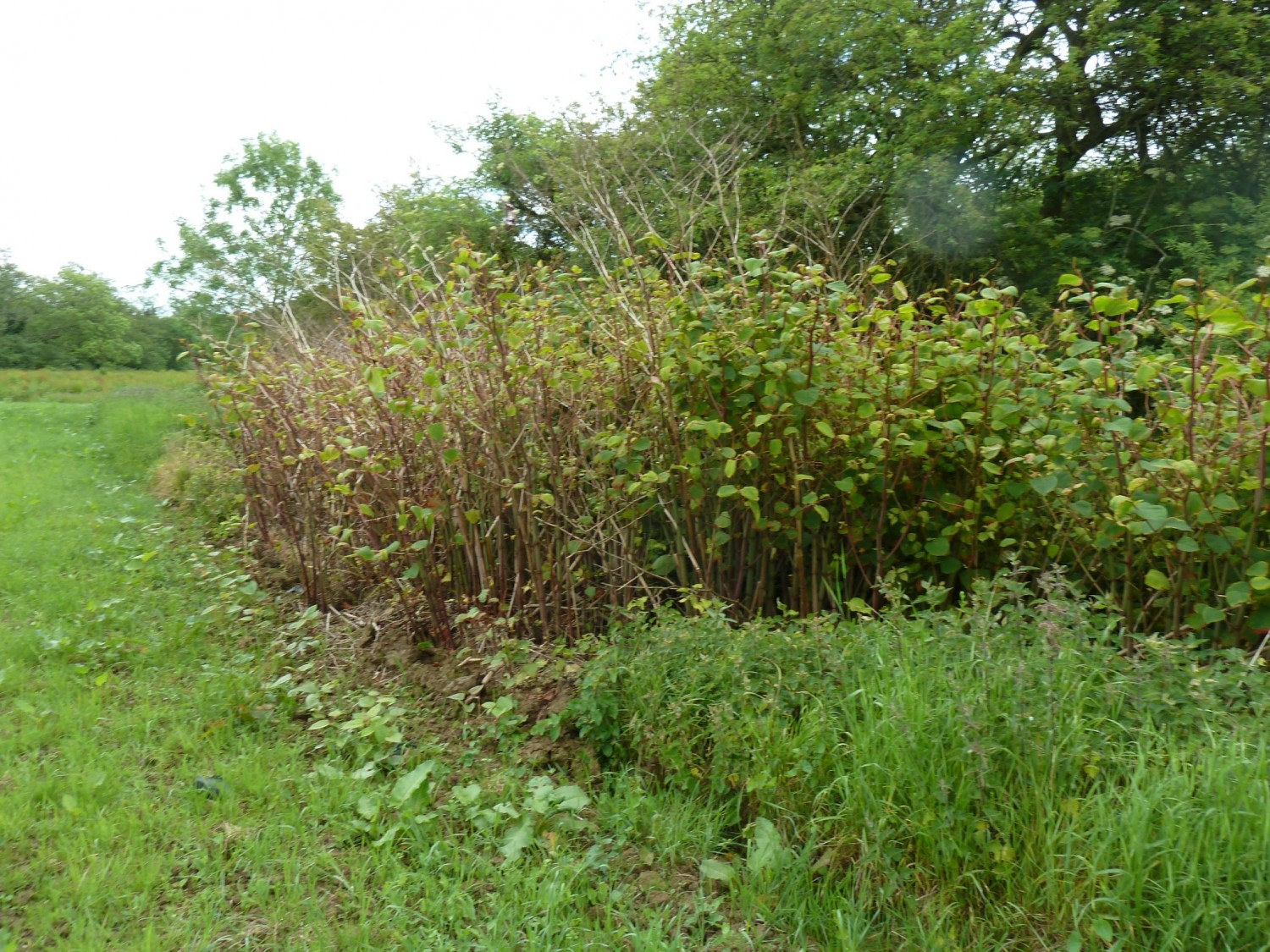Japanese Knotweed on the Scrase Stream